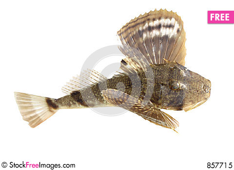Free Ugly Fish Royalty Free Stock Photo - 857715