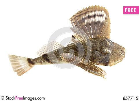 Free Ugly Fish Royalty Free Stock Photo - 857715