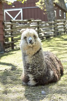 Free Smiling Alpaca Royalty Free Stock Photos - 850108