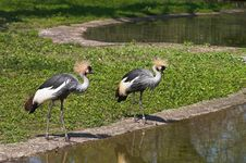 Free A Couple Of Black Crowned Cranes Royalty Free Stock Images - 850199