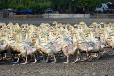 Free Goose Farm Royalty Free Stock Image - 851126