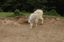 Mountain Goat 1 Stock Image