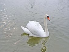 Free Swan In A Lake Stock Photo - 851650