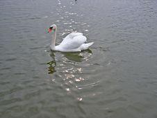 Free Swan Stock Photography - 851652