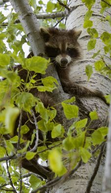 Free Snarling Raccoon (Procyon Lotor) Stock Images - 851694