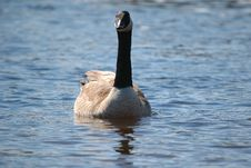 Free Goose On Water 6 Royalty Free Stock Photo - 851995