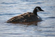 Free Goose On Water 5 Royalty Free Stock Image - 851996