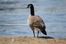 Free Goose On Grass Royalty Free Stock Photography - 851997