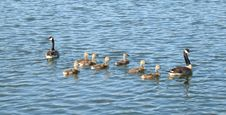 Geese And Goslings Royalty Free Stock Photography