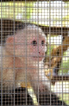 Free Trapped Monkey Royalty Free Stock Photography - 852717