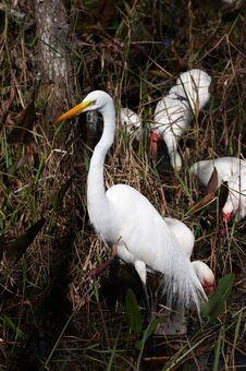 Free White Egret Stock Image - 853131