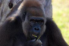 Free Gorilla, Royalty Free Stock Photos - 853318