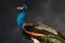 Free Peacock Royalty Free Stock Photography - 853347