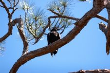Free Black Vulture Stock Photography - 853402