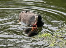 Free Coot Mother Feeding Babies Stock Images - 853434