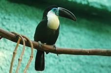 Free Toucan Stock Photography - 853512
