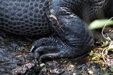 Free Alligator Stock Photo - 853540