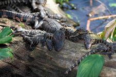 Free Gators Royalty Free Stock Image - 853546