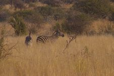 Free Zebra Twins Royalty Free Stock Photography - 854207