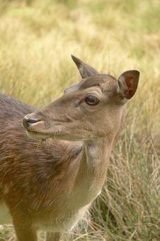 Free Roe Deer 03 Royalty Free Stock Image - 855206