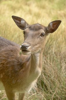 Free Roe Deer 02 Royalty Free Stock Photography - 855207