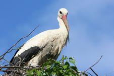 Free Stork Royalty Free Stock Photo - 855645