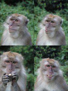Four Faces Of Monkey Stock Photo