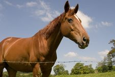 Free Chestnut Horse 1 Stock Image - 855881