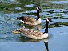 Goose And Gander2 Royalty Free Stock Images
