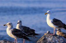 Free Seagulls Stock Photos - 856583