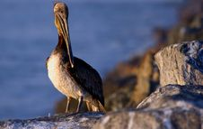 Free Pelican Royalty Free Stock Photos - 856618