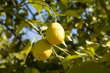 Free Lemon Tree Royalty Free Stock Photography - 856957