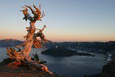 White Bark Pine Sunset Stock Image