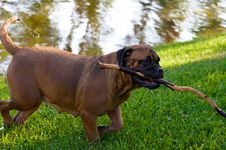 Free Bullmastiff Royalty Free Stock Photography - 858267