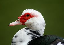 Muscovy Duck Royalty Free Stock Image