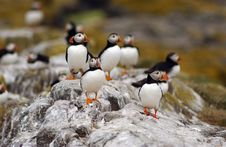 Free Group Of Puffins Stock Photos - 858373