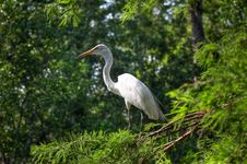 Free Egret Stock Images - 858384