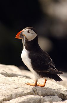 Free Puffin With Fish Stock Images - 858394