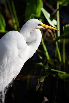 Free Great White Egret Royalty Free Stock Photography - 858407