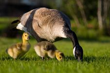 Free Goose Family Royalty Free Stock Image - 859056