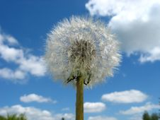 Free Dandelion Flower Royalty Free Stock Photo - 859755