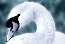 Free Portrait Of A Swan Royalty Free Stock Image - 859856