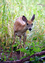 Free Wet Fawn Sees Something Royalty Free Stock Photos - 8501698