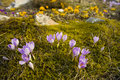 Free Crocus Royalty Free Stock Images - 8501749