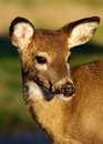 Free Fawn Portrait, Looking Right Royalty Free Stock Photography - 8501857
