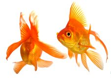 Free Goldfish Stock Images - 8500114