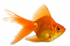 Free Goldfish Royalty Free Stock Photo - 8500115