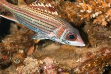 Spotfin Squirrelfish Stock Images