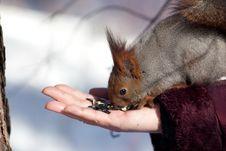 Free Eating Squirrel Stock Image - 8500651