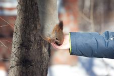 Free Eating Squirrel On The Tree Stock Photos - 8500673